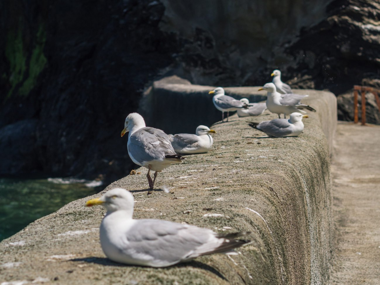 Segulls on Port Isaac Harbour Wall