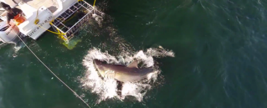 Watch Cape Town Sharks Captured with a Drone